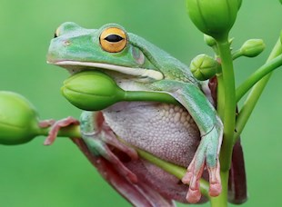 Guulaangga, the Green Tree Frog