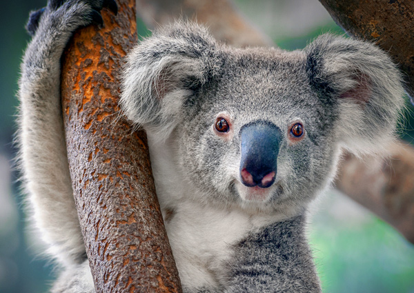 Nowhere to go: Saving koalas