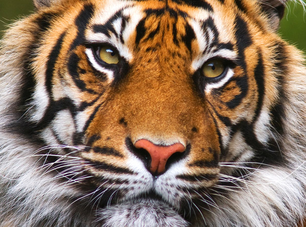 WWF Species: Tigers